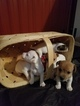 Jack Russell Terrier Puppy For Sale in APPLE CREEK, OH, USA