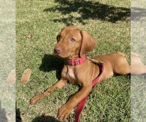 Vizsla Puppy for sale in WILM, NC, USA
