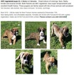 Boxer Puppy For Sale in ASHTABULA, OH,