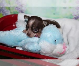 Chihuahua Puppy for sale in BASTROP, LA, USA