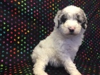 Australian Shepherd-Poodle (Miniature) Mix Puppy For Sale in NUNN, CO