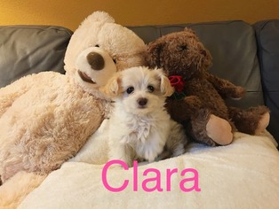 Maltipoo Clara Female ...