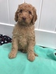 Labradoodle Puppy For Sale in LONDONDERRY, NH, USA