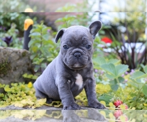 French Bulldog Puppy for sale in TOWN CENTER, NJ, USA