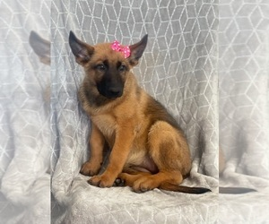Malinois Puppy for sale in LAKELAND, FL, USA