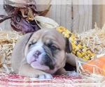 Puppy 6 Bulldog