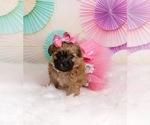 Zuchon Puppy For Sale in CHICO, CA, USA