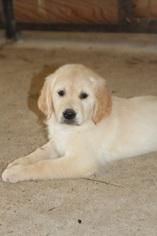 Golden Retriever Puppy For Sale in KIRBYVILLE, TX, USA