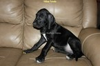 Great Dane Puppy For Sale in LAKE PARK, Georgia,