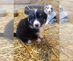 Small #32 Australian Shepherd