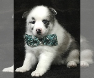 Pomsky Puppy for Sale in BAXTER, Tennessee USA