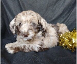 Labradoodle-Poodle (Miniature) Mix Puppy for sale in FREDERICKSBG, OH, USA