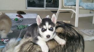 Siberian Husky Puppy For Sale in PALM COAST, FL, USA