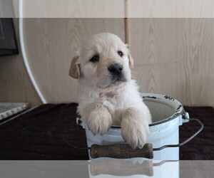 English Cream Golden Retriever Puppy for sale in SOUTH BEND, IN, USA