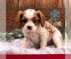Cavalier King Charles Spaniel Puppy for sale in DRY RUN, PA, USA
