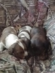 Dachshund Puppy For Sale in LIMA, Ohio,