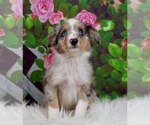 Australian Shepherd Puppy for sale in WARSAW, IN, USA