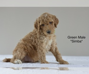 Irish Doodle Puppy for sale in WOODLAND, AL, USA