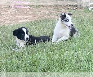 Border Collie Puppy for sale in PELL CITY, AL, USA