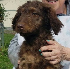 Aussiedoodle Puppy For Sale in CENTRAL POINT, OR