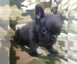 Small #39 French Bulldog