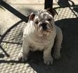 English Bulldog Puppy For Sale in DEL RIO, Texas,
