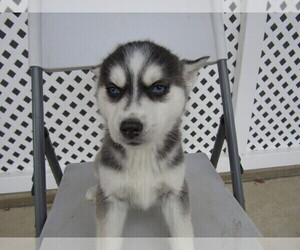 Siberian Husky Puppy for sale in SOUTH BEND, IN, USA