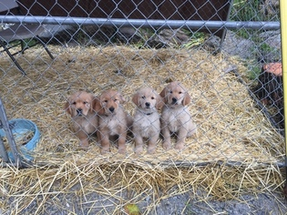 Golden Retriever Puppy For Sale in OROVILLE, WA