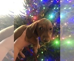 Small #4 Dachshund