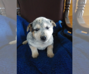 Australian Cattle Dog Dog for Adoption in ANN ARBOR, Michigan USA