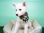 Siberian Husky Puppy For Sale in LA MIRADA, CA, USA