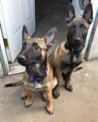 Belgian Malinois Puppy For Sale in MANTECA, CA