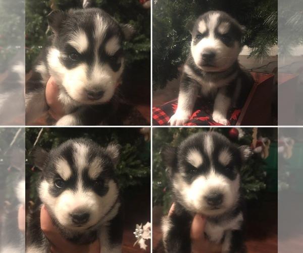View Ad: Alaskan Husky Puppy for Sale near In Ireland
