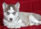 Siberian Husky Puppy For Sale in MOUNT JOY, Pennsylvania,