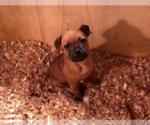 Puppy 4 Staffordshire Bull Terrier