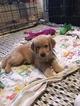 Golden Retriever Puppy For Sale in SAN ANTONIO, TX, USA