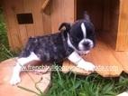 French Bulldog Puppy For Sale in HOMESTEAD, FL, USA