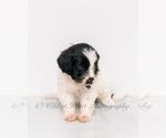 Puppy 2 Goldendoodle-Irish Doodle Mix