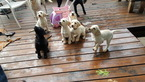 Labrador Retriever Puppy For Sale in FORT WORTH, TX