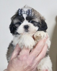 Shih Tzu Puppy For Sale in WARSAW, IN, USA