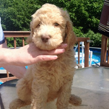 View Ad: Poodle (Standard) Puppy for Sale, Tennessee ...