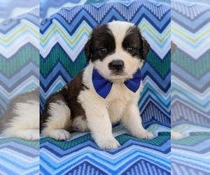 Saint Bernard Puppy for sale in LANCASTER, PA, USA