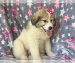 Small #9 Great Pyrenees
