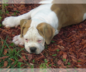 American Bulldog Puppy for Sale in FLORENCE, Mississippi USA