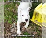 Small Photo #201 Dogo Argentino Puppy For Sale in PINEVILLE, MO, USA