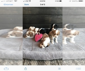 Cavalier King Charles Spaniel Puppy for Sale in VALLEY CITY, Ohio USA