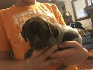 German Shorthaired Pointer Puppy For Sale in TAYLORVILLE, IL, USA