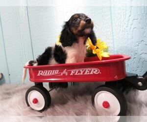 Dachshund Puppy for sale in HAWESVILLE, KY, USA