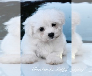Maltese Puppy for sale in MARYSVILLE, WA, USA