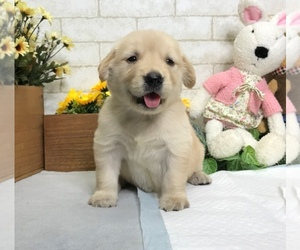 Golden Retriever Puppy for sale in LOS ANGELES, CA, USA